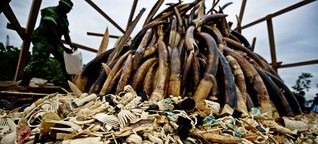 Nashorn und Elfenbein: So brutal arbeiten die Wilderer
