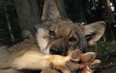 Schwerpunkt Wölfe und Natur
