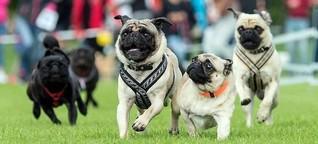 Möpse und Bulldoggen laufen «schneller als Sprinter Usain Bolt»