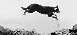 Tiere im Ersten Weltkrieg: Wie Front-Hund Stubby zum Helden wurde