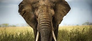Elefanten: Hotspots der Wilderei identifiziert