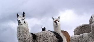 Zwischen Küste, Bergen und Lamas: Ecuador