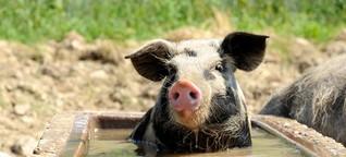 Nackte Hühner und eine Dusche fürs Schwein