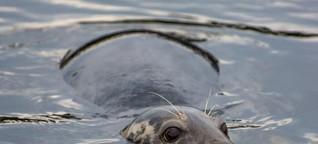 Tauchen und Schnorcheln in Schottland: Seehunde, Riesenhaie und Schiffswracks