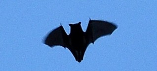 Fledermäuse: Nachtschwärmern auf der Spur - N24.de