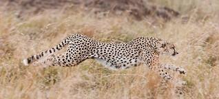Geparden: Erfolgreiche Jagd der drei Brüder. Ein Bericht mit Fotos von Ingo Gerlach. 28. November 2016.