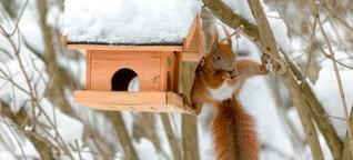 Sammler und Akrobaten: Wie man Eichhörnchen im Winter unterstützt