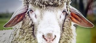 Lebendige Krippen in Ditzingen und der Region: Kritik an tierischen Weihnachtsdarstellern
