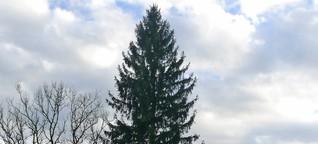 Weihnachtsbaum für Frankfurt: Deutschlands Schönster heißt August
