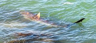 Rätselhafter Besuch von Haien vor Israel