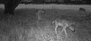 Der erste belgische Wolf seit über 100 Jahren kommt aus MeckPomm