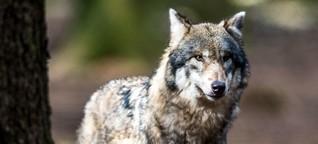 Der Wolf ist des Menschen Wolf