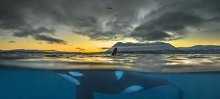 Killerwale in Gefahr: Vergiften wir die Orcas?
