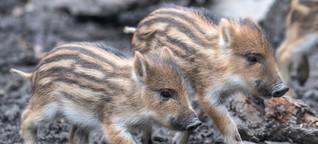 Dänemark baut neuen Grenzzaun - gegen Wildschweine. Viel bringen wird er nicht.