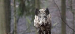 Radioaktiv belastete Wildschweine - Problem Sau