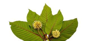 Blätter des Kratom-Baums: Gefährlich statt gesund - MedWatch