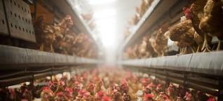 """Podcast """"Stimmenfang"""": Glückliches Huhn oder Billigfleisch - wohin steuert unsere Landwirtschaft?"""