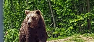 Romania: The Human-Bear-Conflict