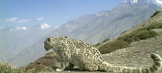 Sind die Schneeleoparden noch zu retten?