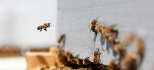Rettet die Bienen - Sticht die Honigbiene die Wildbiene aus?