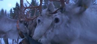 Lapplands Rentiere