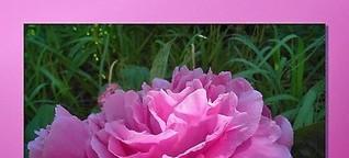 ✿ Rosen und Pfingstrosen - was ist der Unterschied? [1]