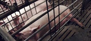 Bundesrat berät neue Regeln für Schweinezucht