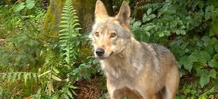 Zuwachs im Wolf- und Bärenpark Bad Rippoldsau-Schapbach
