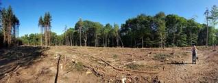 Borkenkäfer zerstört fußballfeldergroße Flächen: Der Fichtenwald im Bürgerbusch stirbt aus