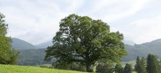 Tausendjährige Bäume - in Wahrheit viel jünger