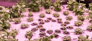 """Vertical farming"": Hoch hinaus gepflanzt"