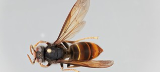 Frage zum Weltbienentag: Wie gefährlich ist die Asiatische Hornisse für Honigbienen?