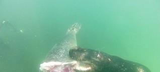 Neue Erkenntnisse von Büsumer Forschern: Robben fressen Robben