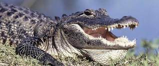 Alligator-Alarm beim Hertha-Training in Florida