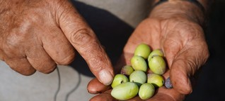 Die Olivenkrise, Teil 1: «Einst hatte er 2.000 Olivenbäume. 1.500 sind tot»