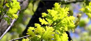 ☼ Wetterregel Esche Eiche - sichere Langzeit-Prognose