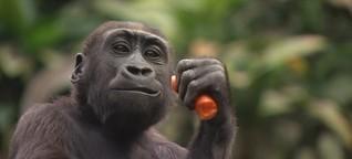Pongoland im Zoo Leipzig feiert 20. Geburtstag | MDR.DE